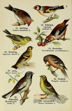 Plate 4, Schreibers kleiner Atlas der einheimischen Vögel.