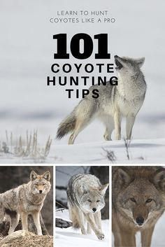 Learn to hunt Coyotes like the pros with 101 coyote hunting tips from a professional hunter. Coyote hunting is one of my favorite pastimes, and I've learned a lot from this great resource! learning how to hunt coyotes can be a challenge, but this made it Quail Hunting, Deer Hunting Tips, Hunting Rifles, Turkey Hunting, Archery Hunting, Crossbow Hunting, Hunting Stuff, Pheasant Hunting, Coyote Hunting Gear