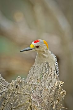 Golden-fronted Woodpecker by Kenny Salazar