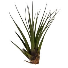 : Air Plant supplier with plenty of options and info