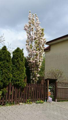 Kwitnąca wiśnia Amanogawa