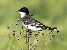 Eastern Kingbird looking for flying insects in Oklahoma