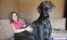 Giant George, the dog who likes to relax on the couch. | 21 Dogs Who Don't Realize How Big They Are