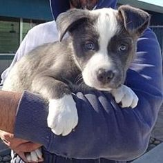 Lathrop, California - Pit Bull Terrier. Meet Cruz, a for adoption. https://www.adoptapet.com/pet/20851342-lathrop-california-pit-bull-terrier-mix #pitbull