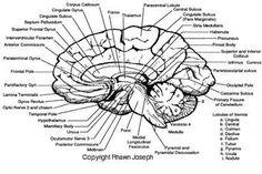 Human Brain Detailed Anatomy - Norton Safe Search