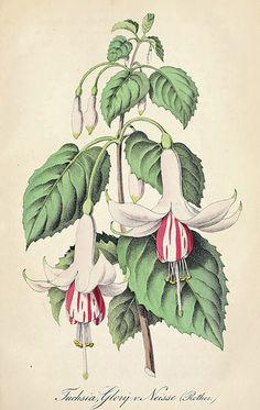 Fuchsia. Glory v. Neisse. Deutsches Magazin für Garten- und Blumenkunde; Stuggart, G. Weise. (1855)