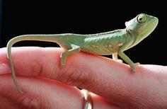 Veiled Chameleons as Pets - Care, Housing, Feeding