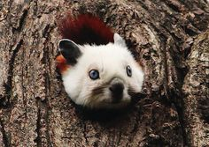 The face of the Red and White Giant Flying Squirrel, Petaurista alborufus. They have blue eyes!