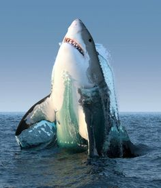 Great white shark in Gansbaai, South Africa. is this real? Shark Pictures, Shark Photos, Water Animals, Animals And Pets, Orcas, Wale, Underwater Life, Great White Shark, Ocean Creatures