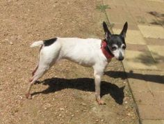 Meet Roxy, a Petfinder adoptable Toy Fox Terrier Dog | Houston, TX | Petfinder.com is the world's largest database of adoptable pets and pet care information....