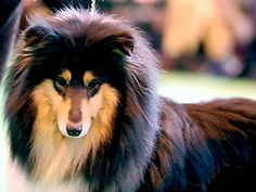 Collie-online: Pedigree database - Camanna Carmen Miranda