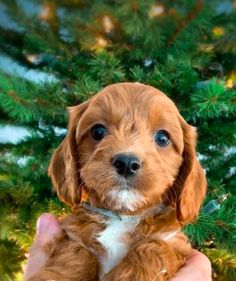 Pinewood Cavapoos in Washington Cavapoo Breeders, Cavapoo Puppies For Sale, Labradoodles, Boxer Puppies, Cute Dogs And Puppies, Doggies, Pets 3, Puppy Pictures, Golden Retrievers