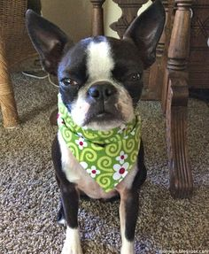 Watch out for the Boston terrier stink eye! Sinead has it mastered.
