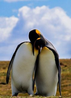 "Penguins: ""I'd like to spend the rest of my life with you...""       (Photo By: Mark Roberts.)"