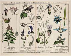 Plant, bloeiwijze, onderdelen 'Nüsschentragende': I. Mentha piperita L., 'Pfefferminze', II Salvia pratensis L., 'Wiesensalbei', III. Verbena officinalis L., 'Gemeines Eisenkraut, IV. Borrago officinalis L., 'Gemeiner Boretsch'. Veelkleurig. Genummerd: II. Abteilung. Tafel 28.