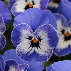 Pansy ~ Sorbet series 'Delft Blue'
