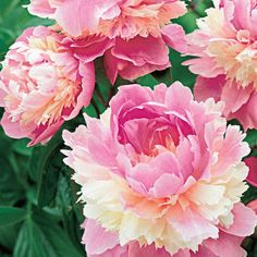 Beautiful peony -perennial flowering bush. Buy Sorbet Peony at Michigan Bulb