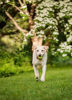 © Kathryn Schauer Photography | Daily Dog Tag | Yellow-Lab-tennis-ball, dogwood-trees, #Labrador