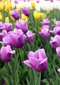 Tulips                                                                                                                                                      Más