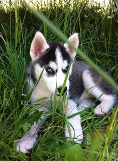 Adorable Siberian Husky puppy in the grass