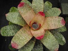 Vriesea 'Lipstick Kisses' (Vriesea 'Fraser Island' x Vriesea 'My Butterfly')