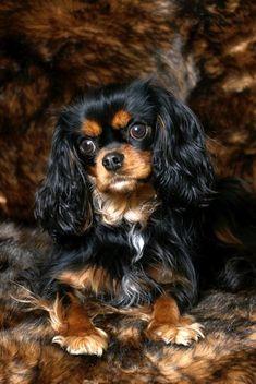 Cute Black & Tan Cavalier King Charles Spaniel Dog …