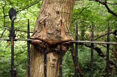 Schottischer Depri-Baum frisst Zaun   Dinge mit Gesicht