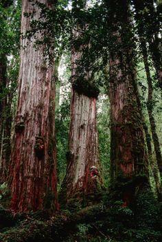 Sis arbres més vells que la piràmide de Kheops