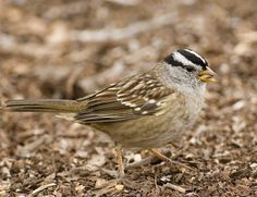 https://flic.kr/p/5na4VU | white-crowned sparrow with seed