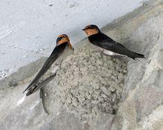 Pacific Swallow (Hirundo tahitica) taken at Huisun National Forest, Taiwan