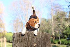 Booty shake! @yummypets #beagle