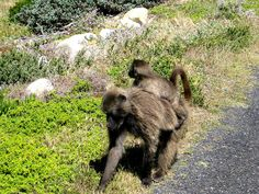 Baboons, Cape of Good Hope, South Africa #CapeofGoodHope #SouthAfrica #Baboons