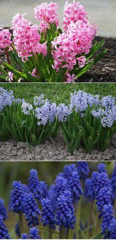 #flores #jardim #jardinagem #plantas #jacintos
