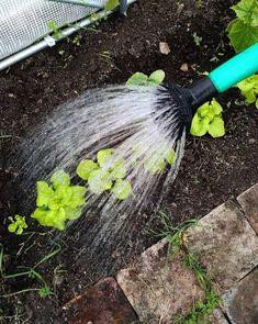 lettuce, farm living, cottage garden, slow living Farms Living, Slow Living, Pisa, Lettuce, Garden Tools, Cottage, Spring, Yard Tools, Cottages
