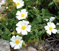 Jara, un arbusto muy resistente y de bajo mantenimiento - http://www.jardineriaon.com/jara-arbusto-resistente-mantenimiento.html #plantas
