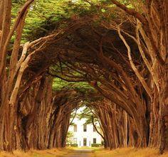 Cypress Tree Tunnel, California, USA Amazing World