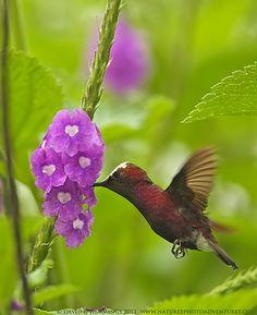 "Snow-capped Hummingbird-male | Costa Rica - Natures Photo Ad… | Flickr  ""Hummingbirds"""