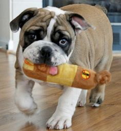 Check out Fiona the English bulldog on the Daily Puppy