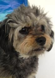 Polo is an adoptable Pekingese Dog in Decatur, AL. Polo is a grey and silver male Pekingese and Poodle, Miniature mix. He was born on Monday, April 19, 2010 and is 3 years old. He has been neutered. D...