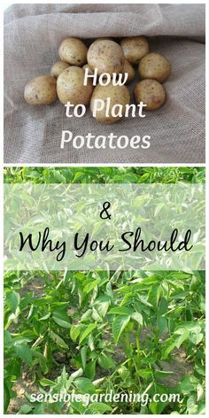 How to grow Potatoes and Why You Should with Sensible Gardening