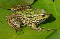 Different Types of Frogs Amphibians I enjoy seeing at wild animals while camping. Make sure you find the best camping gear at http://todayscampinggear.com