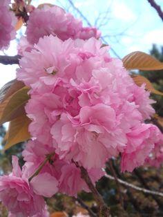 sakura 八重桜