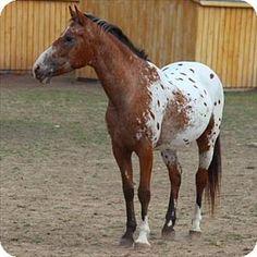 Quakertown, PA - Appaloosa/Quarterhorse Mix. Meet Baxter, a pet for adoption. http://www.adoptapet.com/pet/11444005-quakertown-pennsylvania-horse
