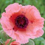 Oriental Poppy Helen Elizabeth
