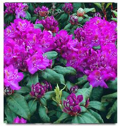 "Rhododendron ""Royal Purple"" Type: Hybrid Bloom Time:	May-June 	Flower Color:	Purple Exposure:	Sun or Partial Shade Size in 10 yrs:	5ft - 6ft tall Hardiness:	-15 deg F Growth Habit:	Large"