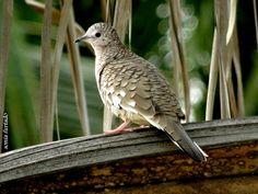 """https://flic.kr/p/ruMezN   Terça-natureza (Pássaro pousado)   Fogo-apagou   Classificação Científica Reino: Animalia Filo: Chordata Classe: Aves Ordem: Columbiformes Família: Columbidae  Leach, 1820 Espécie: C. squammata Nome Científico Columbina squammata (Lesson, 1831) Nome em Inglês Scaled Dove  ( <a href=""""http://www.wikiaves.com.br/fogo-apagou"""" rel=""""nofollow"""">www.wikiaves.com.br/fogo-apagou</a>)"""