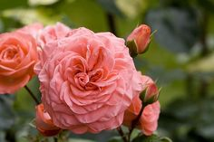 Furled Pink Rose by jeffk, via Flickr