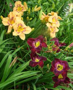 Nortic Night and Web of Intrigue daylilies