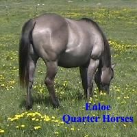 Enloe Quarter Horses Specializing in Grulla/Grullo Quarter Horses and Dun Factored Performance Horses. Also Wheaten Marans eggs, chicks and chickens.