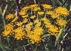 Fennel, Common (Grosfruchtiger) (Foeniculum vulgare), packet of 100 seeds, organic [WA NO]